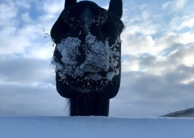 snowy horse